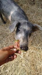 Bacon the piggy
