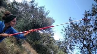olive harvest time
